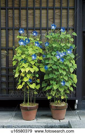 Morning Glory Growing In Flower Pots Stock Photograph