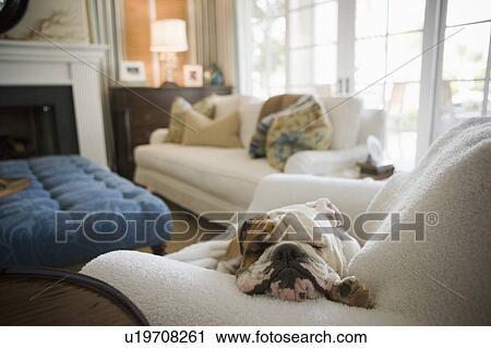 Stock Fotografie Englische Bulldogge Eingeschlafen Auf Sessel