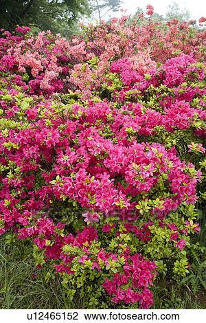 Stock Photo Of Bush Of Pink Azalea Flowers U12465152 Search Stock