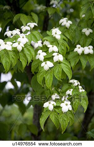 Stock Photo Of White Dogwood Flowers U14976554 Search Stock Images