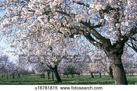 stock image of blooming almond tree u16781815 search stock photos