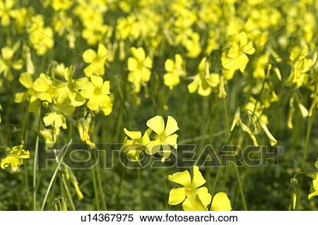 Stock image of yellow clover meadow u14367975 search stock photos yellow clover meadow mightylinksfo