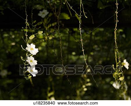 Stock photography of white flowers and vines in bali u18235840 stock photography white flowers and vines in bali fotosearch search stock photos mightylinksfo