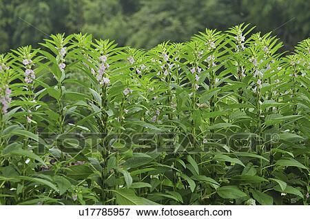 Außergewöhnlich Sesam- samen, blumen pflanzen Stock Foto | u17785957 | Fotosearch &LD_65