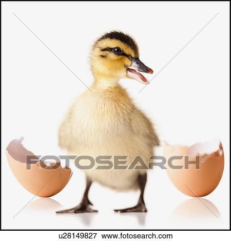 picture of freshly hatched chick beside broken egg shell u28149827