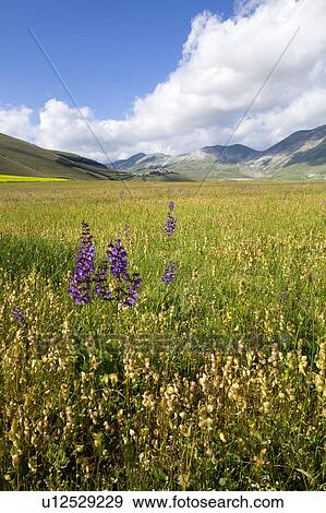View of Piano Grande Umbria, with wild purple flowers in foreground, yellow lentil fields in full flower, town of Casteluccio in distance, ...