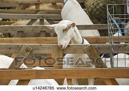 England North Yorkshire Rosedale Abbey White Goat In A Pen At The District Agricultural Horticultural And Industrial Society Annual Show
