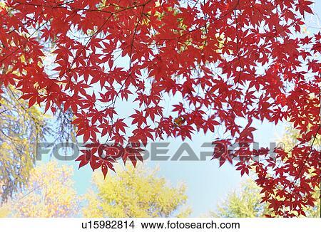 Japanese Maple Tree In Autumn Hokkaido Prefecture Japan Picture