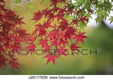 Japanese Maple In Autumn Nara Prefecture Honshu Japan Stock