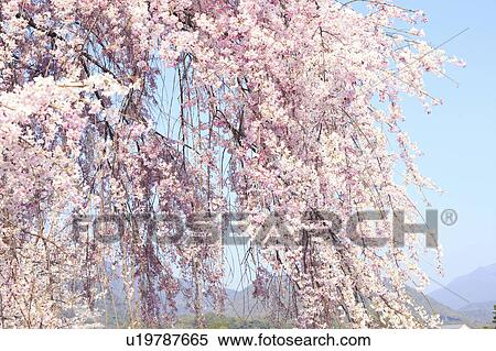 Japanese Weeping Cherry Tree Blossoms Stock Photography