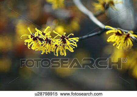 Chinese Witch Hazel Flowers Stock Photography U28798915 Fotosearch