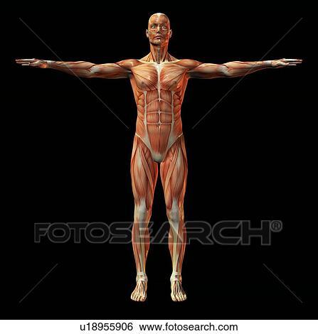Stock Bilder - menschlicher muskel, struktur, kunstwerk u18955906 ...