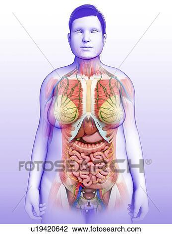 Stock Photo Of Female Internal Organs Illustration U19420642