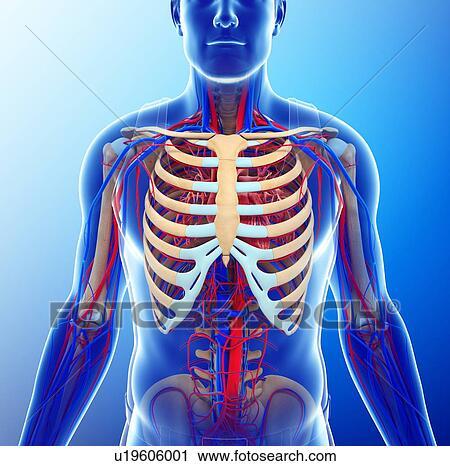 Banco de Fotografías - pecho humano, anatomía, ilustración u19606001 ...