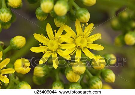 Stock photo of yellow flowers on an ornamental succulent plant in stock photo yellow flowers on an ornamental succulent plant in california pasadena california mightylinksfo