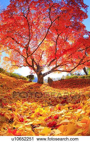 Japanese Maple Tree Nagano Prefecture Japan Stock Image