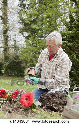 Banco de Imagem - homem velho, plantar, flores, em, quintal ...