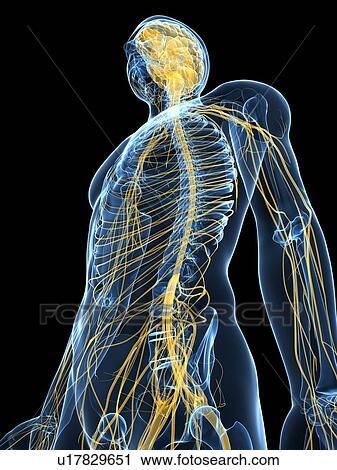 Stock Photography of Human nervous system, computer artwork ...