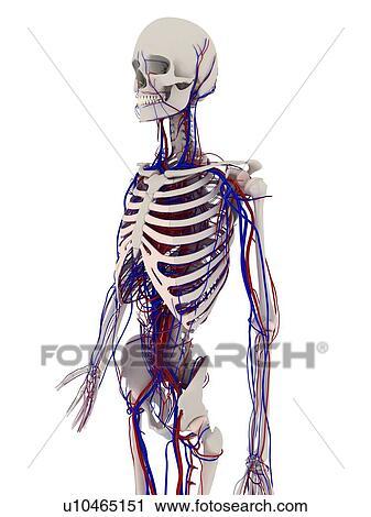 Stock Fotografie - menschlich, anatomy., edv, kunstwerk, ausstellung ...