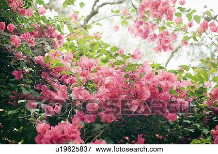 Picture of detail pink flowers on bush cardiff by the sea detail pink flowers on bush cardiff by the sea california usa mightylinksfo