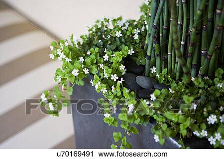 Stock photography of detail small white flowers in ceramic vase san detail small white flowers in ceramic vase san diego california usa mightylinksfo