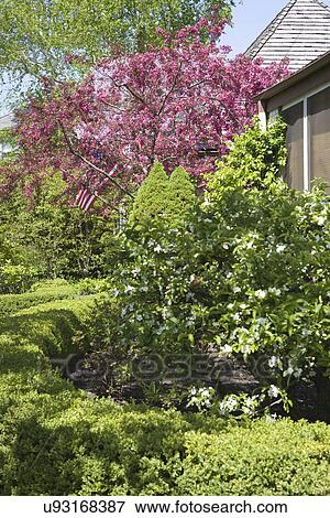 Picture of garden spring curved boxwood surrounds mock orange bush garden spring curved boxwood surrounds mock orange bush pink flowering tree in background mightylinksfo