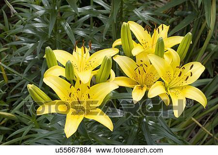 Garten Blume Detail Asiatische Lilie Gelb Bild U55667884
