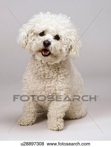 pictures of bichon frise u28897308 search stock photos images