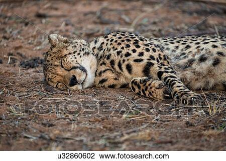 stock photo of single cheetah lying on its side sleeping close up
