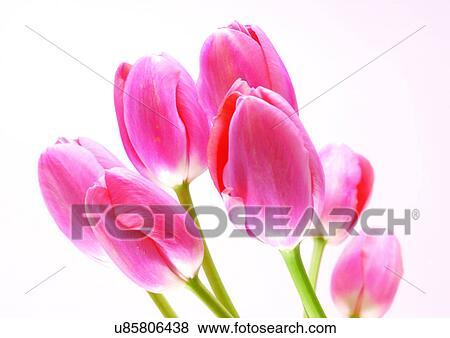 Sfondo Bianco Fiori Primavera Tulipano Primo Piano Archivio