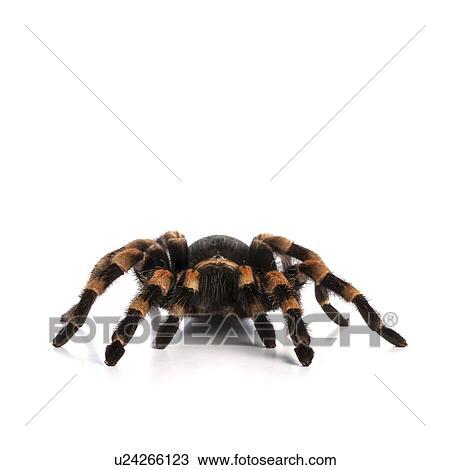 Stock Photo Of Mexican Redknee Tarantula U24266123