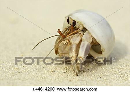 Banco de Fotografías - cangrejo ermitaño, en, un, cáscara, maldivas ...