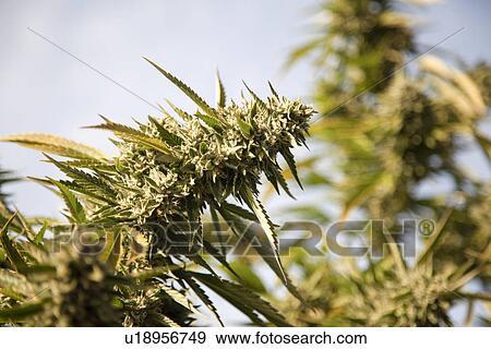 Banque De Photographies Cannabis Fleur Cannabis Sativa