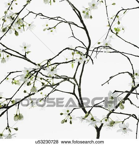 Bilder - ein, apfelbaum, bluehende, und, wachsen, in, dass, frühling ...