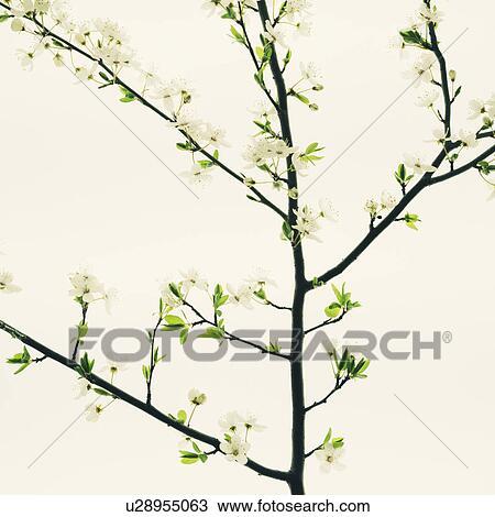 Stock Foto - ein, apfelbaum, bluehende, und, wachsen, in, dass ...
