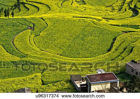Vista De Cortijo Y Campo Amarillo Terrazas Con Florecer Aceite Semilla Violación Plantas Luoping China Foto