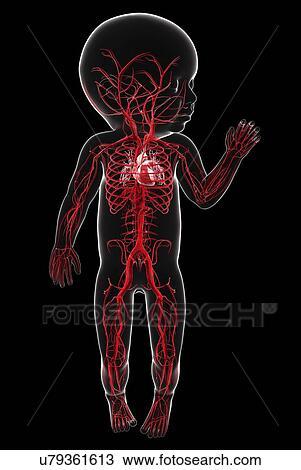 Dibujo - bebé, sistema vascular, ilustraciones u79361613 - Buscar ...