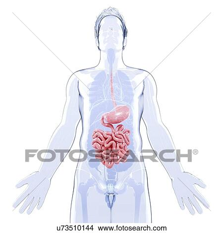 Human Digestive System Artwork Drawings U73510144
