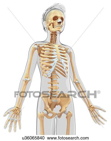 Stock illustrations of human skeletal system artwork u36065840 human skeletal system artwork ccuart Image collections