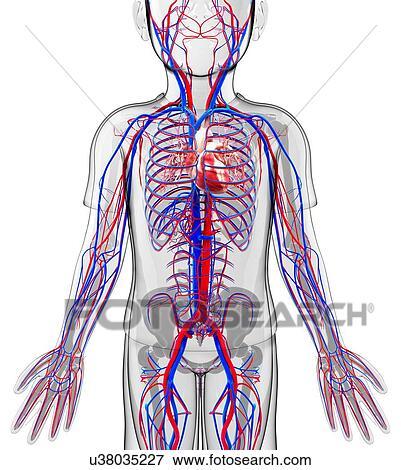 Colección de ilustraciones - sistema cardiovascular humano ...
