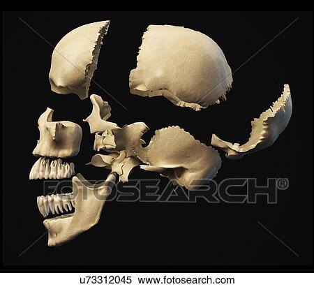 Colección de ilustraciones - cráneo humano, en, secciones ...