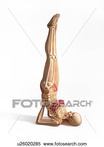 stock illustration of female musculoskeletal system artwork
