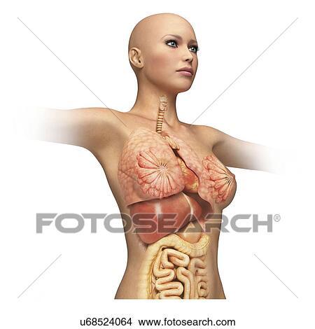 Drawings of Female organs, cut away , artwork u68524064 - Search ...