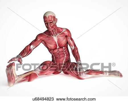 Drawing of Human muscular system, illustration u68494823 - Search ...