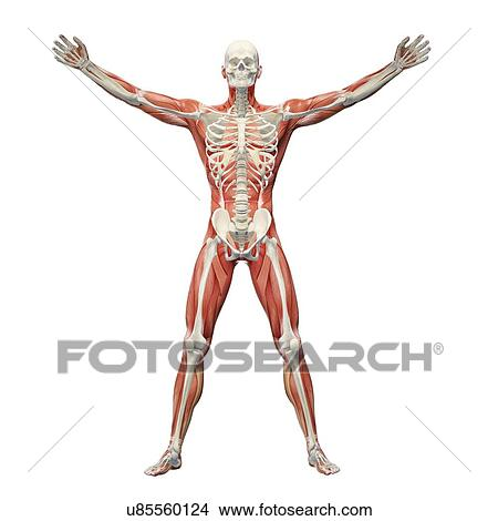 human musculoskeletal system artwork