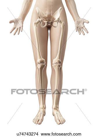Drawings of Human leg bones, illustration u74743274 - Search Clip ...
