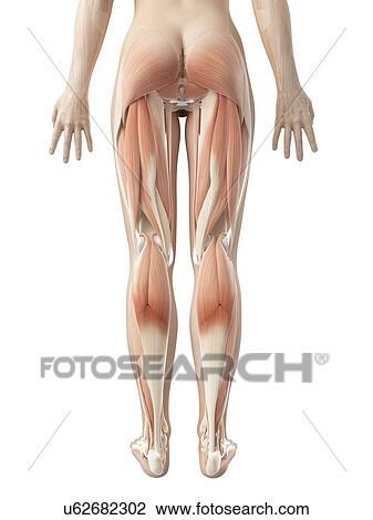Clip Art - menschliches bein, muskeln, abbildung u62682302 - Suche ...