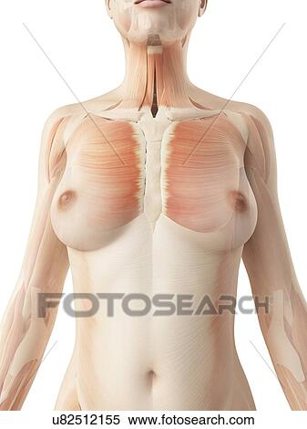 stock illustration of female muscular system, illustration, Muscles