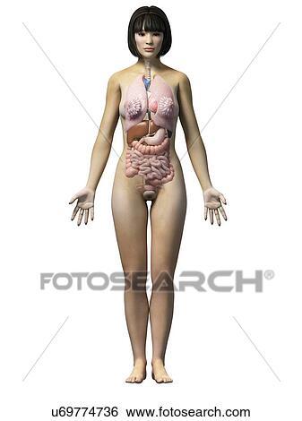 Stock Illustration Of Female Internal Organs Illustration U69774736