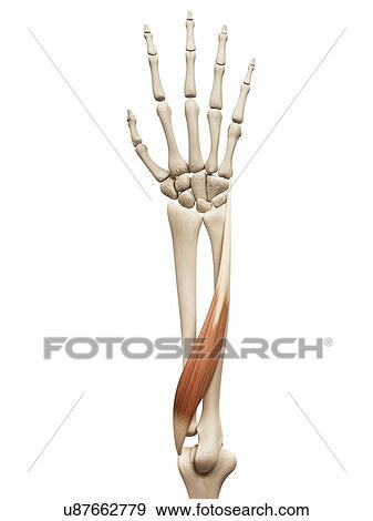腕 筋肉 イラスト イラスト U87662779 Fotosearch